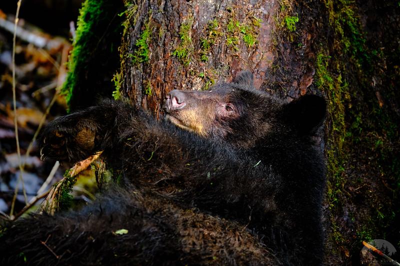 Sea to Sky Black Bears 8.jpg