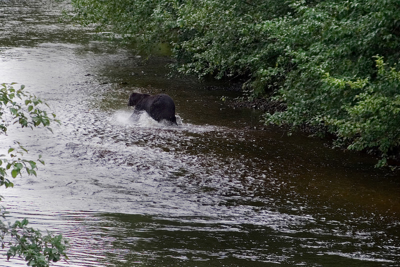 Bear in the River 1a.jpg