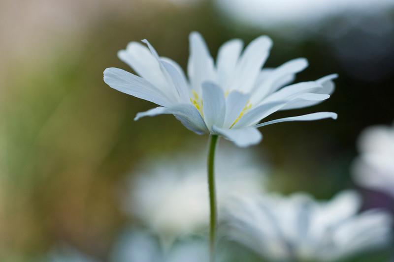 Single white anemone