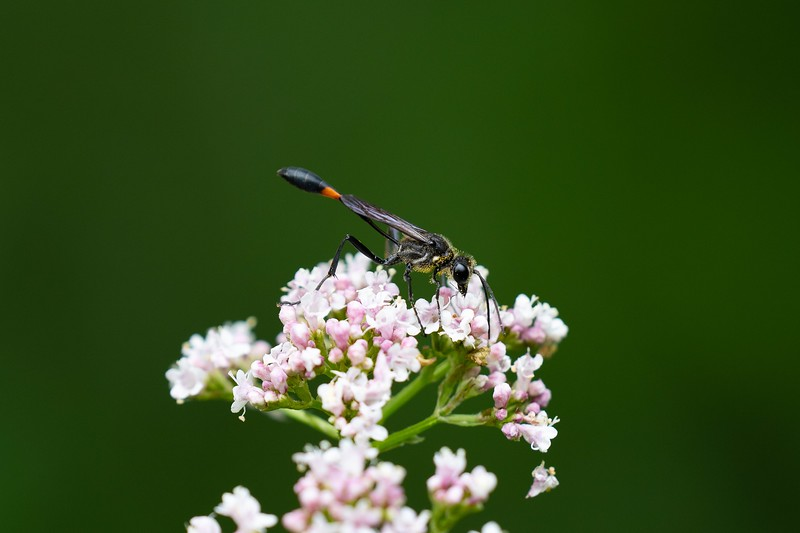 Common Thread-waisted Wasp, in Area 5 (Photo by Chelsea Marcantonio)