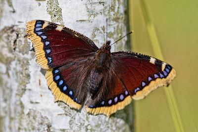 Butterflies ~ Sommerfugle
