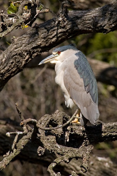 Night-Heron - Black-crowned - St. Augustine Alligator Farm, FL - 02
