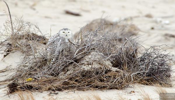 Snowy Owls - Jones Beach 01/18/2014