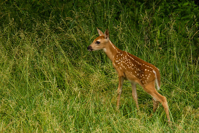 First Look at the Baby Fawns - June 2012