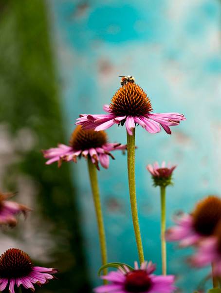 Echinacea and bees.  Extraordinary sights and colors.