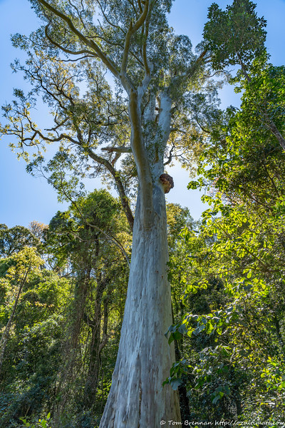 Giant gum tree by the old road