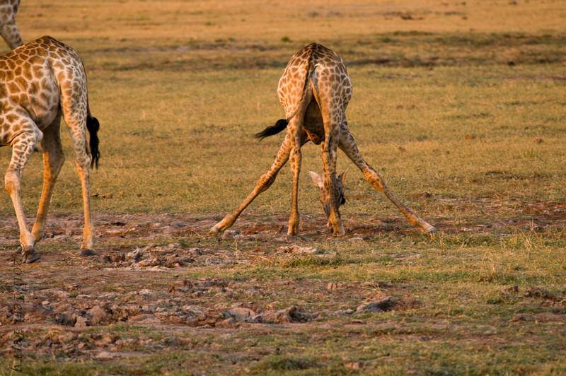 giraffe (7).jpg