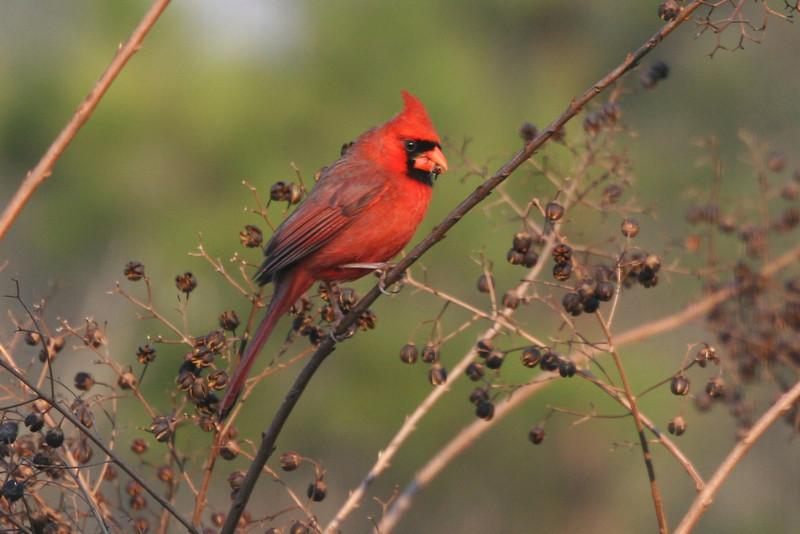 Cardinal in crepe myrtle in Lanett, Alabama