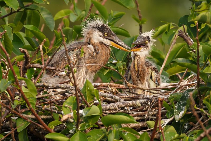 Great Heron Chicks-5110.jpg