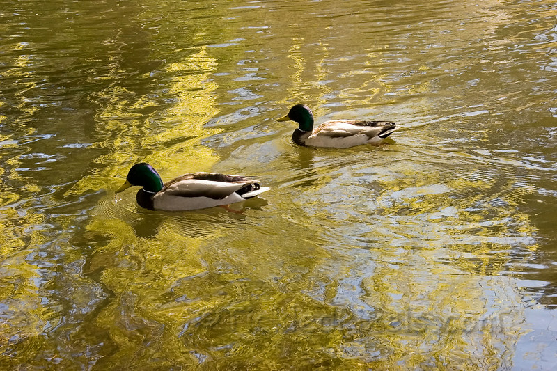 Mallards in Beacon Hill Park