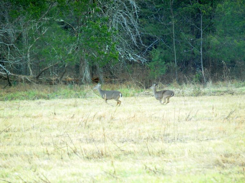 Deer Apco-003.JPG