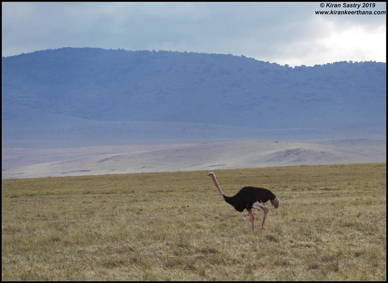 Ostrich, Ngorongoro Crater, Ngorongoro Conservation Area, Tanzania, November 2019