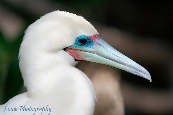 Galapagos Boobies
