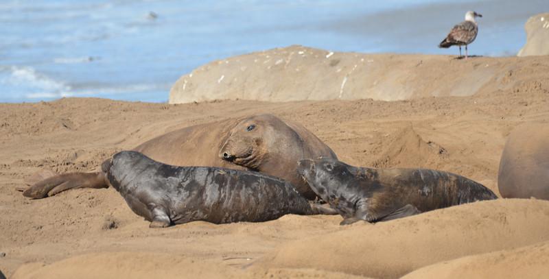 ano-nuevo-elephant-seals-2013 42.jpg