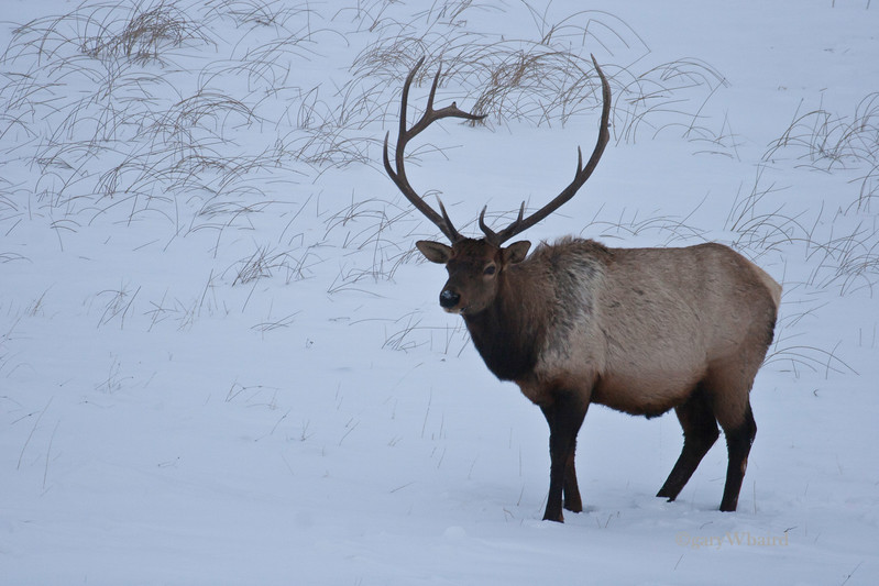 Big Bull in Snow.jpg