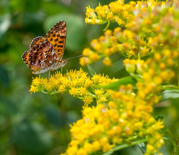 fritillary Purplish Fritillary Boloria montinus Gray Jay Way Welcome Center Owl Avenue Sax-Zim Bog MN IMG_4306.jpg