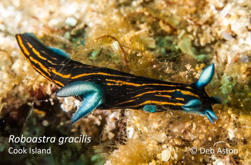 Roboastra gracilis