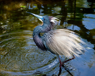Herons - Other