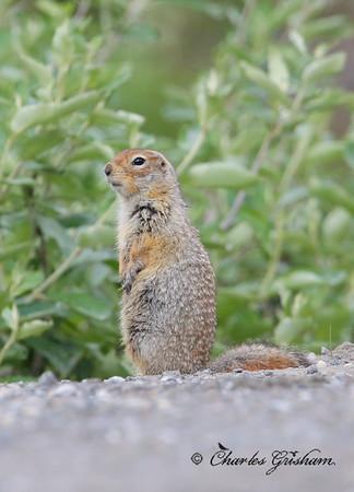 Arctic Ground Squirrel in Alaska