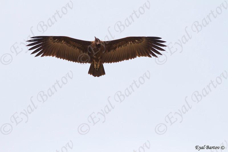 Hooded vulture, Necrosyrtes monachus - רחם הכיפה
