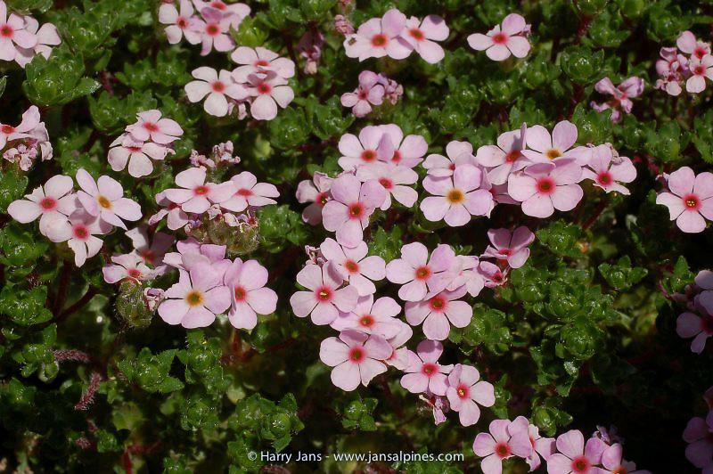 Androsace mucronifolia