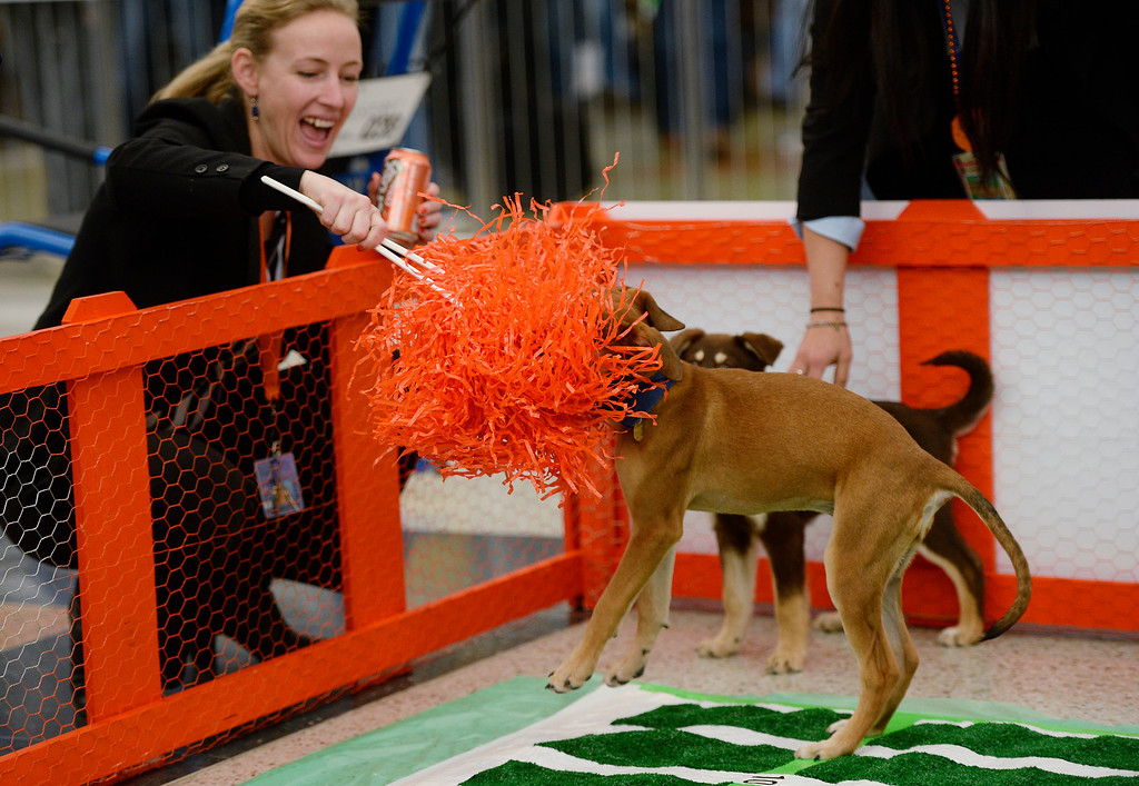 . Heather Kaufman shakes a  Broncos orange pompom at a puppy as the Denver International Airport hosted the DEN Puppy Bowl in the Jeppesen Terminal  on Friday, February 05, 2016. They invited puppies from the Denver Dumb Friends League to come down and frolic on a miniature football field set up in the center of the main terminal. The puppies drew employees and  travelers out to see the cuteness.  (Photo by Cyrus McCrimmon/ The Denver Post)