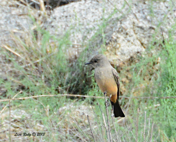Say's Phoebe - 12/28/13 - Woods Valley Campground; 2013 Escondido CBC