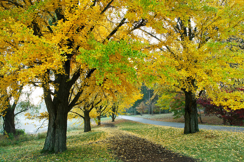 Gingko trees, Morton Arboretun, Illinois