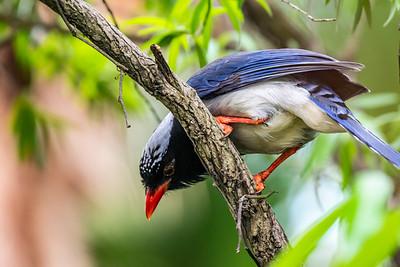 Red-billed Blue Magpie[Urocissaerythroryncha]