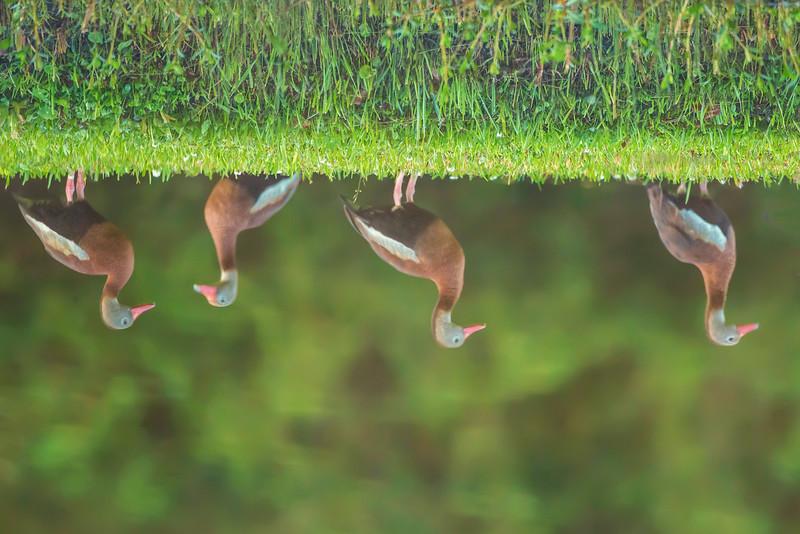 Reflection of Black-bellied Whistler ducks in Avery Island's Jungle Gardens.