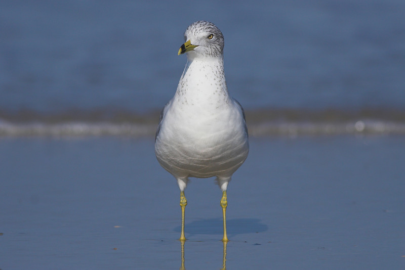 Ring-billed Gull checks out the scenery near Ponce Inlet