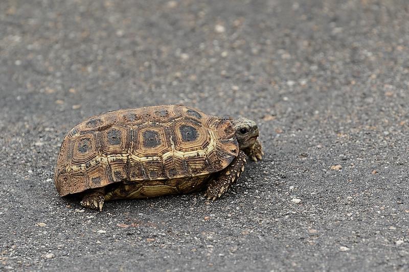 Leoparrd Turtle