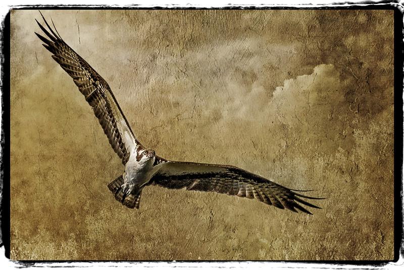 ospreysaga3y.jpg