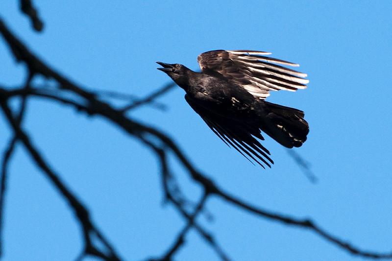 clip-015-bird_crow-wdsm-28may12-6470.jpg