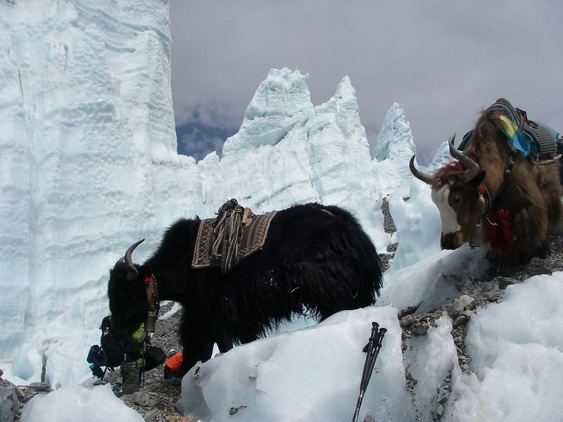 Yaks - our helpers on moreine