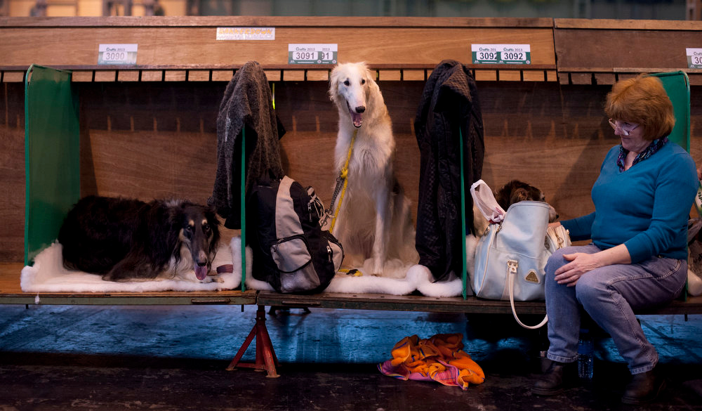""". An owner sits alongside her Borzoi dogs during the first day of the Crufts dog show in Birmingham, in central England on March 7, 2013. The annual event sees dog breeders from around the world compete in a number of competitions with one dog going on to win the \""""Best in Show\"""" category. AFP PHOTO / BEN STANSALLBEN STANSALL/AFP/Getty Images"""