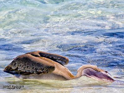 Pelican 1s.jpg