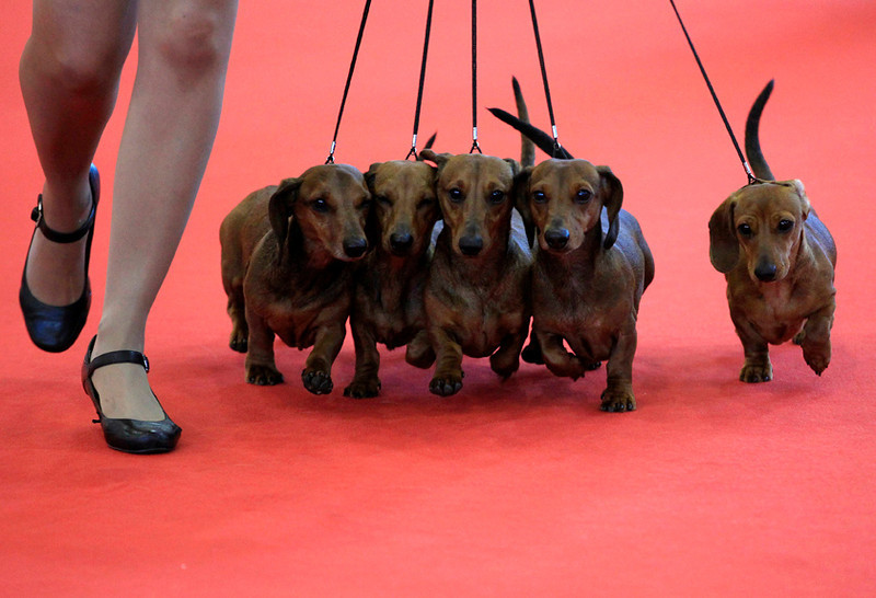 . Dachshunds at  the World Dog Show in Budapest, Hungary, May 15, 2013. REUTERS/Laszlo Balogh