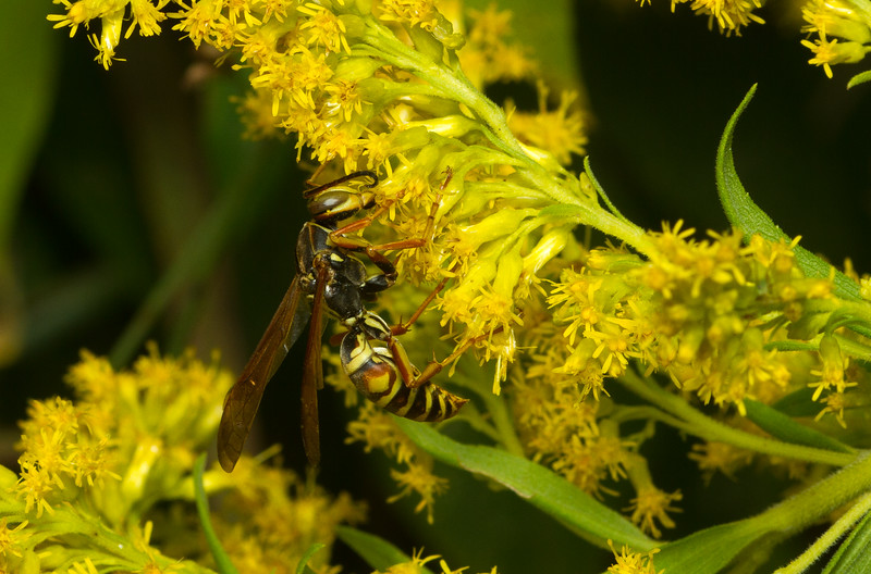 Northern paper wasp, Polistes fuscatus, on goldenrod in Iowa.