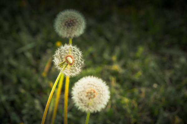 Dandelions on a Morning Walk