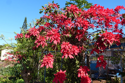 Huge Poinsettia Plant
