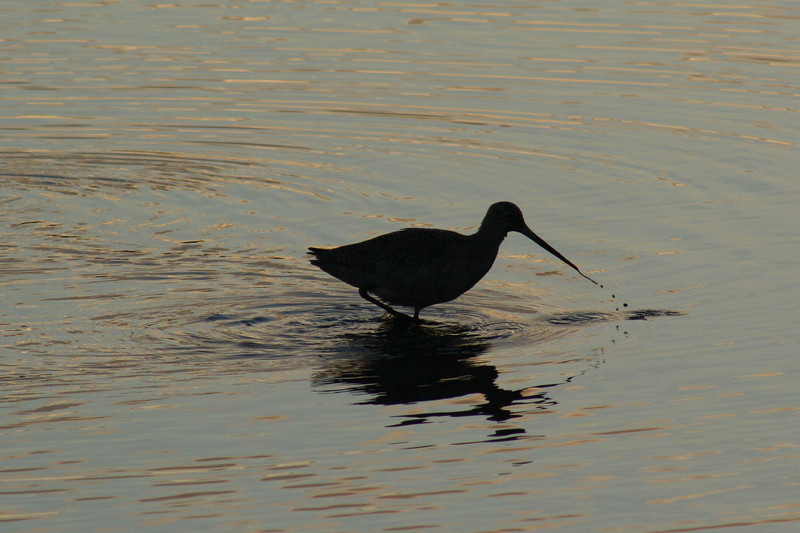 Marbled Godwit Dawn.JPG