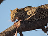 Leopard eating 2