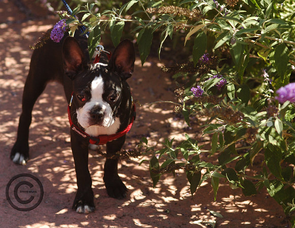 Poppy two  Boston Terrier
