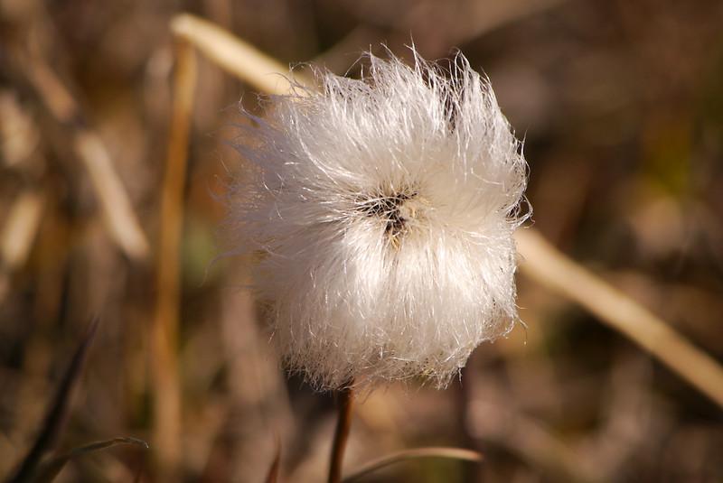 Eriophorum (cottongrass, cotton-grass or cottonsedge)