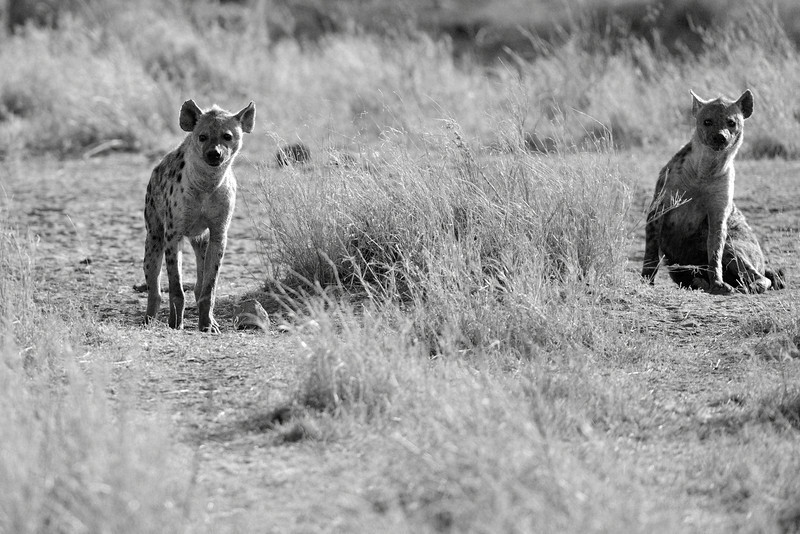 Two-curious-Hyenas.jpg