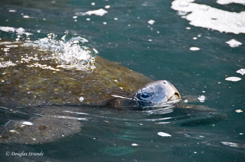 Sea Turtle at Punta Vincente Roca, Isabela Island
