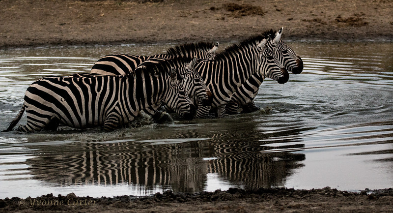 Zebras Pond.jpg