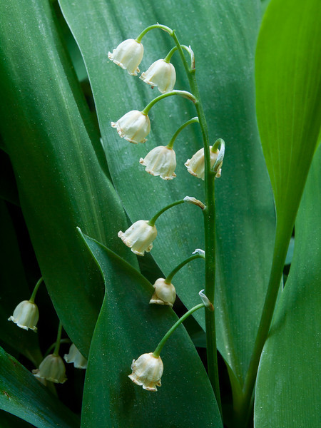 May 25 in the Lily of the Valley life cycle study. Aging gracefully.  Don't you wish we all could?
