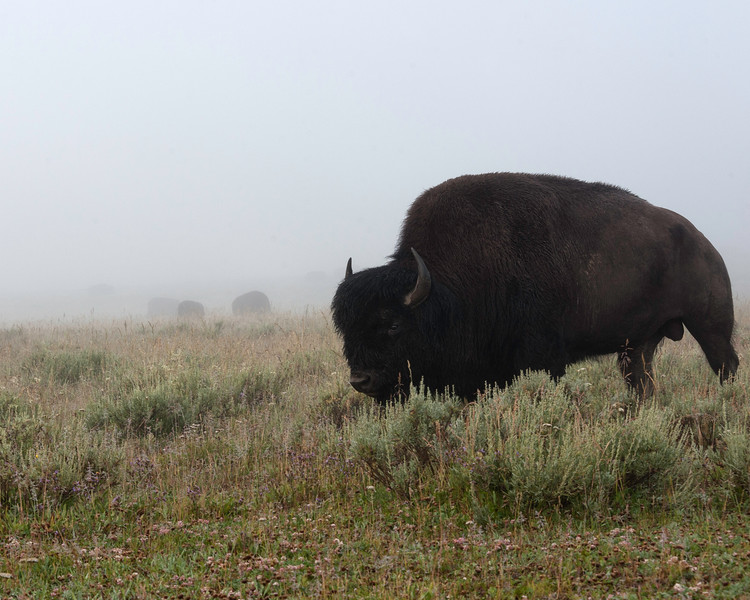BISON GUARD YELLOWSTONE NATIONAL PARK
